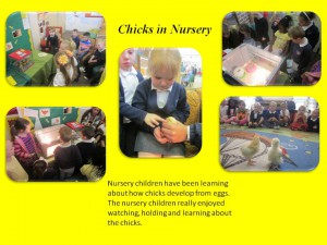 Chicks in Nursery - Curriculum in Action